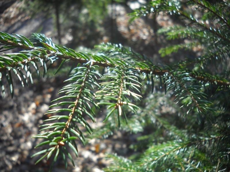 хвойный лес лечит астму